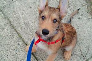 Ballard Dog Walking, Sniff Seattle, Berger Picard