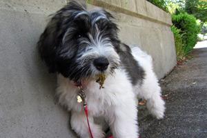 Sheepdogs, Bellevue Puppy Care, Sniff Seattle Bellevue Dog Walkers