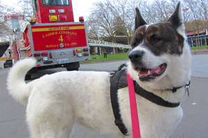 Belltown Dog Walking, Seattle Fire Department, Akitas