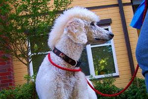 Sniff Seattle Dog Walkers, Mohawk Poodle, Dog Walking 98122
