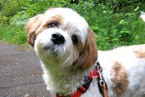 Bellevue Dogs, Lhasa Apso, Dog Walking Bellevue