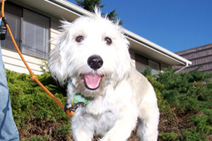 Best Bellevue Seattle Dog Walkers, Schnoodles, Dog Photos