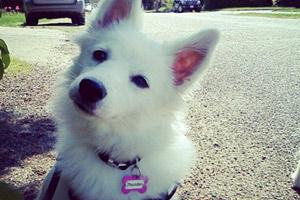 98125 Dog Walking, Sniff Seattle Bellevue Dog Walkers, Eskimos (Dogs)