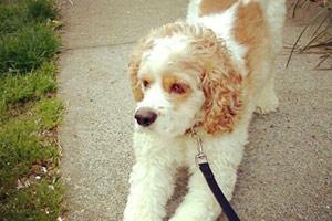Dog Walking 98103, Cocker Spaniels, Sniff Seattle