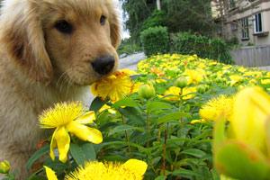 Sniff Seattle, Retrievers, Dog Walking Kirkland WA