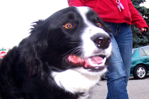 Sniff Seattle Dog Walkers, Border Collie, 98177