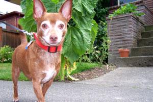 Pet Sitting Ballard, Sniff Seattle Dog Walkers, Bob The Chihuahua
