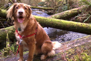 Golden Retrievers, Boeing Creek Park, Sniff Seattle Dog Walkers