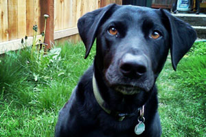 Black Labradors, Sniff Seattle Bellevue, Dog Walker 98105