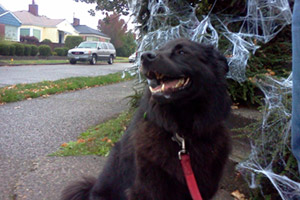 Sniff Seattle Bellevue Dog Walkers, Howl-oween, 98107 Dog Walking