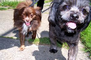 Dog Walking In Fremont, Butch & JJ, Sniff Seattle Bellevue Dog Walkers