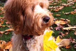 98112 Dog Walkers, Labradoodle, Sniff Seattle Bellevue Dog Walkers