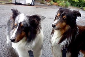 Broadview Dog Walkers, Sniff Seattle Bellevue Dog Walkers, Shelties