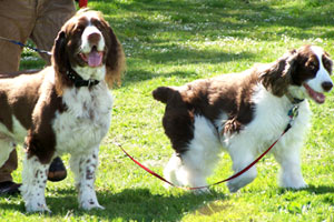 Bellevue Seattle Dogs, Springer Spaniels, Dog Walking In Magnolia