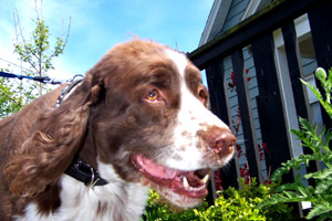 Ballard Dog Walkers, Springer Spaniel, Sniff Seattle