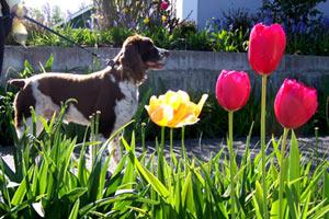 Dog Walking In Ballard, Sniff Seattle Bellevue Dog Walkers, Casey The Springer Spaniel