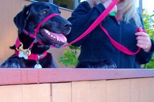 Dog Walker Broadview Seattle, Sniff Seattle Bellevue Dog Walkers, Black Labs