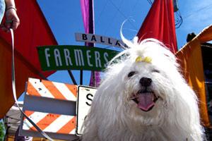 Ballard Dogwalker, Sniff Seattle Bellevue Dog Walkers, Conton de Tulears