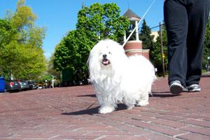 Dog Walking In Ballard (98107), Bellevue Seattle Dogs, Conton de Tulear