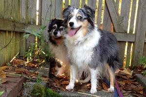 Sniff Seattle Dogs, Aussies, Dog Walking Ballard