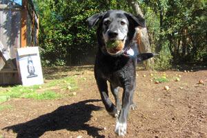 Sniff Seattle, Labradors, Dog Sitting Magnolia