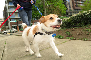 Sniff Seattle Bellevue Dogs, Dog Walker South Lake Union, Jackabee Dogs