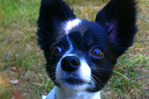 Dog Walking In Sandpoint Seattle, Sniff Seattle Dog Walkers, Papillon