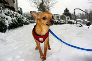 Bellevue Seattle Dogs, Chihuahuas, Sandpoint Dog Walking (98115)