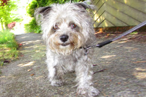 Sniff Seattle, Maple Leaf Dog Walking, Cairn Terriers