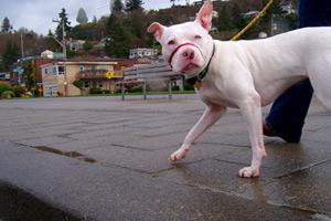 Sniff Seattle Dog Walkers, Alki Beach, Dog Walking 98116