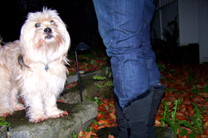 Lhasa Apso, 98115, Sniff Seattle Dog Walkers