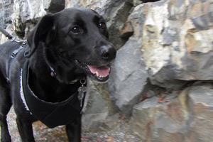 Bellevue Dog Walking, Sniff Seattle Dog Walkers, Black Labs