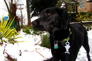 Ballard Dog Walker, Sniff Seattle Bellevue Dog Walkers, Dog Walker Seattle Snow