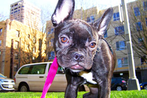 Dog Walking First Hill, Downtown Dog Walker, French Bulldogs