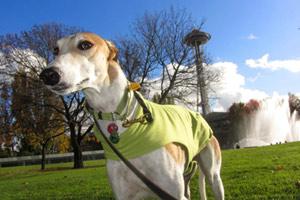 Dog Walking Seattle, Greyhounds, Sniff Seattle