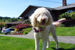 Sniff Seattle Pet Sitting, Goldendoodles, Pet Sitter West Seattle