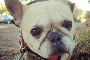 Sniff Seattle Dog Walkers, Frenchies, Dog Walking 98103