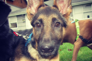 German Shepherds, Puppies, Sniff Seattle Puppy Care