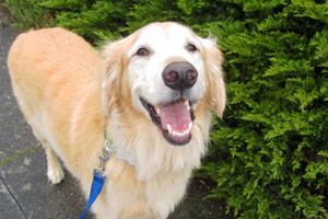 Sniff Seattle Dog Walkers, Retrievers, Dog Walking 98116