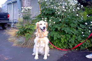Westlake Pet Sitters, Sniff Seattle Bellevue Dog Walkers, Golden Retrievers