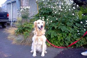 Westlake Pet Sitters, Sniff Seattle Bellevue Dog Walkers, Golden Retrievers