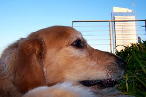 Downtown Seattle Dog Walking, Sniff Seattle Bellevue Dog Walkers, Golden Retrievers
