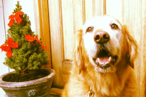 Golden Retrievers, Kirkland Dog Walkers, Bellevue Seattle Dogs