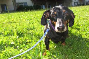 Dog Walker Kirkland, Sniff Seattle Kirkland Pet Sitting, Dachshunds