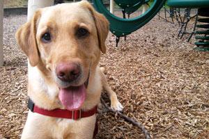 Dog Walker Kirkland, Yellow Labs, Sniff Seattle Kirkland