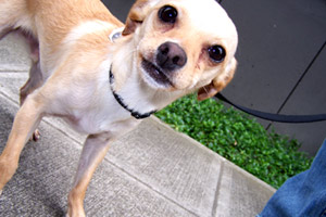 Chihuahuas, Sniff Seattle, Dog Walkers Eastlake Seattle (98102)