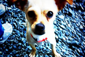 Dog Walking 98116, Sniff Seattle Bellevue Dog Walkers, Chihuahua