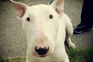 Sniff Seattle, Bull Terriers, Seattle Dog Photos
