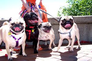 Pugs In Seattle, 98109 Dogs, Bellevue Seattle Dog Walkers