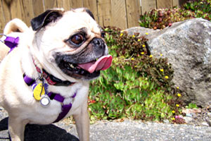 Sniff Seattle Dogs, Pugs, Dog Care Montlake